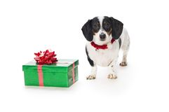 Dachshund Puppy With Gift Box Royalty Free Stock Photos