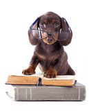 Dachshund puppy in glasses and book Royalty Free Stock Images
