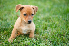 Dachshund puppy in grass Royalty Free Stock Image