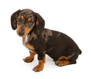 Dachshund Puppy Isolated on White stock image