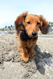 Dachshund puppy Royalty Free Stock Image