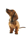 Dachshund puppy looking up. Short hair dachshund on white background Royalty Free Stock Images