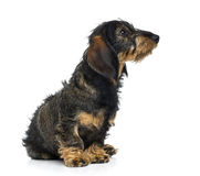 Dachshund puppy looking up (6 months old) Royalty Free Stock Image