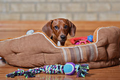 Dachshund puppy lounging. Dachshund puppy in pet bed with toys Royalty Free Stock Photography