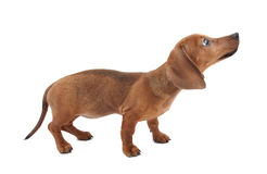 Dachshund puppy Royalty Free Stock Photo