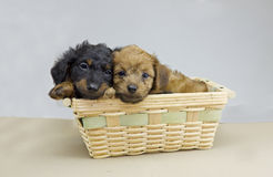 Dachshund puppy pair Royalty Free Stock Photos
