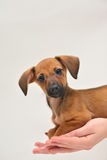 Dachshund puppy on palm on white background Stock Photos
