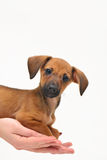 Dachshund puppy on palm on white background Stock Images