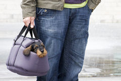 Dachshund puppy in pet carrier Royalty Free Stock Photography