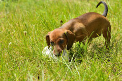 Dachshund puppy plays with shoe outside Royalty Free Stock Photography