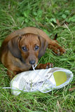 Dachshund puppy plays with shoe outside in grass. And looks innocent royalty free stock photo