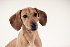Dachshund puppy portrait Stock Image
