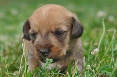 Dachshund puppy portrait Stock Photography