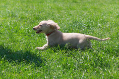 Dachshund puppy running white on the green grass in the garden Royalty Free Stock Images