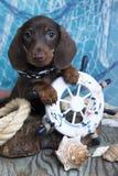 Dachshund puppy  sailor Stock Photo