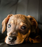 Dachshund puppy in a seat stock photography