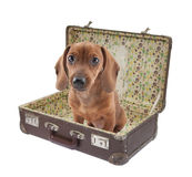 Dachshund puppy sits in a vintage suitcase Royalty Free Stock Image