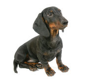 Dachshund puppy is sitting Royalty Free Stock Photography