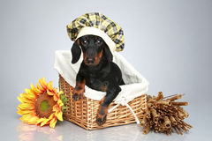 Dachshund puppy sitting in a basket Royalty Free Stock Photography