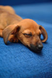 Dachshund puppy sleep on a blue background Stock Image