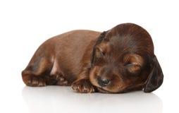 Dachshund puppy sleep on white background. Long-haired dachshund puppy (two weeks) sleep on white background Royalty Free Stock Photos