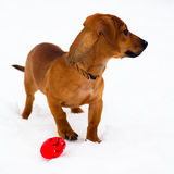 Dachshund puppy on snow Stock Photography