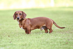 Dachshund puppy standing. Dachshund puppy side view standing outside in grass Stock Photo