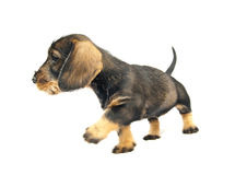 Dachshund puppy steps Stock Photo