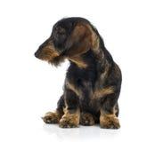 Dachshund puppy sulking (6 months old) Stock Photo