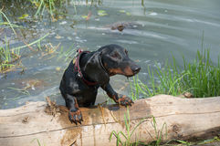 Dachshund puppy after swimming crawl out of the lake on log Royalty Free Stock Images