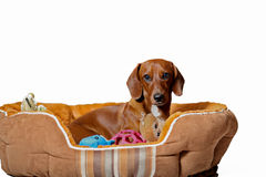Dachshund puppy with toys. Dachshund puppy in pet bed with toys isolated on white Stock Photo
