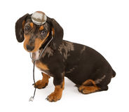 Dachshund Puppy Veterinarian Royalty Free Stock Image