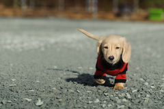 Dachshund puppy walks towards the camera Stock Images