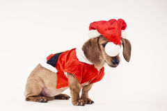 Dachshund puppy wearing Santa dress Stock Photography