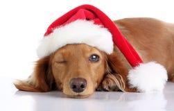 Dachshund puppy wearing Santa hat. Stock Photos