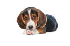 Dachshund puppy, Westphalian Dachsbracke Stock Images