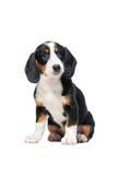 Dachshund puppy, Westphalian Dachsbracke Stock Photos