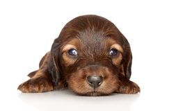 Dachshund puppy on white background Royalty Free Stock Image