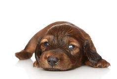Dachshund puppy on white background Royalty Free Stock Photo