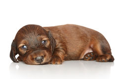 Dachshund puppy on white background Stock Images