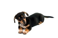 Dachshund puppy Royalty Free Stock Photos
