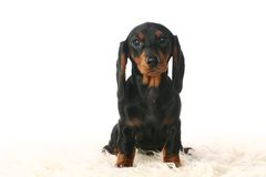 Dachshund puppy on white Royalty Free Stock Images