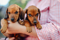 Dachshund puppy. Woman at the park holding his dog. Woman holdin stock image