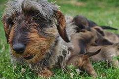 Dachshund and puppys Royalty Free Stock Image