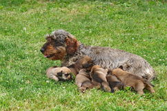 Dachshund and puppys 2 Royalty Free Stock Image