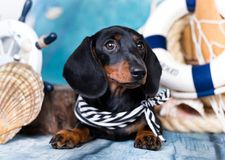 Dachshund dog black-tan. Dachshund puupy dog black-tan in in the costume of a jungle royalty free stock photography