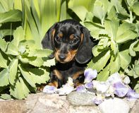 Dachshund dog black-tan. Dachshund puupy dog black-tan in grenn grass background royalty free stock photo