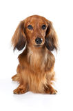 Dachshund Rabbit long dog Royalty Free Stock Photography