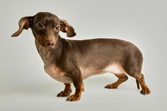 Dachshund with raised ears on white background. Portrait of nervous dachshund with raised ears against white background Royalty Free Stock Photos