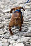 Dachshund Rear View Stock Image
